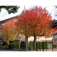 Acer Buergerianum Seeds for sale/ Maple Seeds/ Trident Maple Seeds price/ Sugar Maple Seeds