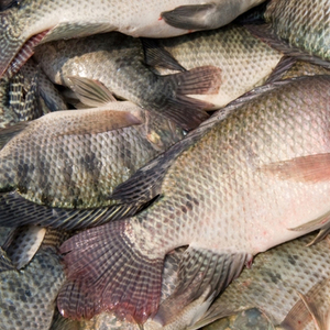 Tilapia Fingerlings Suppliers And Manufacturers At Alibaba