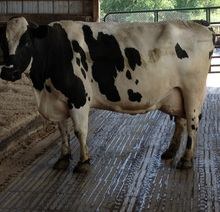 Holstein Heifers, Cows, Camels, Sheeps Available