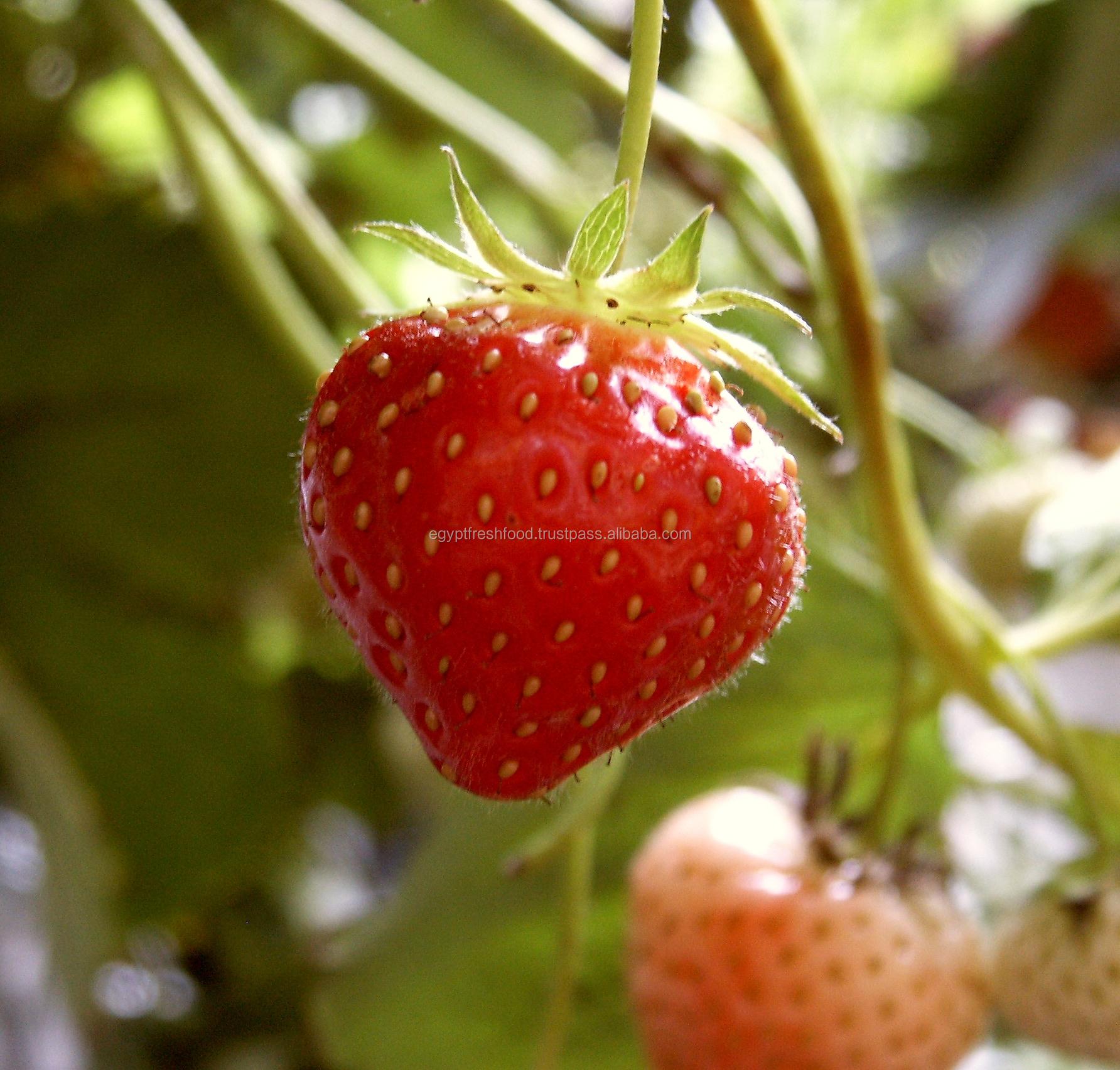 Tomate fraîche, tomate verte cerise, culture fraîche à vendre 2019 prêt à l'exportation