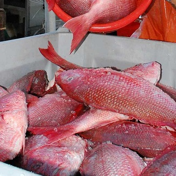 Best Grades Fresh Sea Food For Human Consumption/Red Snapper Fish
