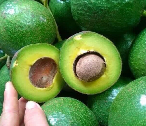 High quality fresh avocado with best price