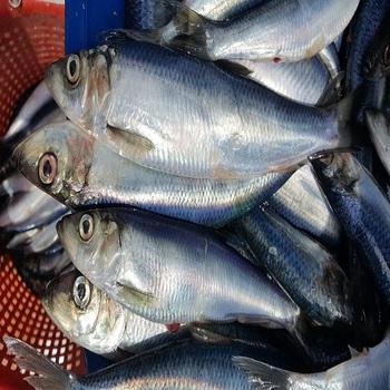 High Quality Frozen Norwegian Herring Buy Canned Herring Fish Frozen Barracuda Fish Frozen Silver Fish Product On Alibaba Com