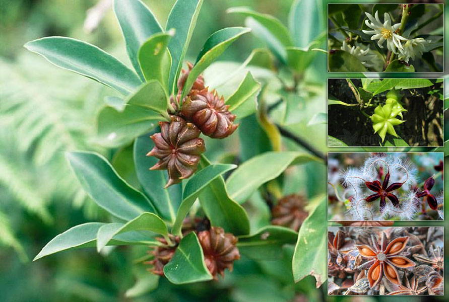 NATURAL STAR ANISE BIG SIZE FROM THE BEST CROP - MS. JESSIE