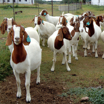 Livestock Full Blood Boer Goats For Sale 2019 Buy Livestock Full Blood Boer Goats For Sale 2018 Product On Alibaba Com
