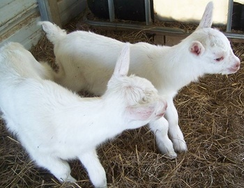 Alive Boer Goats And Merino Sheep For Sale Best Prices - Buy Live Goats And  Sheep,Live Goat For Sale,Sheep And Goat Feeder Product on Alibaba com