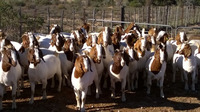 Best breed goat and sheep with skin for sale