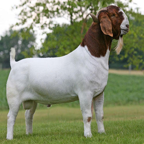 Male And Female Boer Goats Sannen Goats For Sale Buy African Boer Goat Saanen Goats For Sale Live Cattle And Goats For Sale Product On Alibaba Com