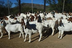 100% Pure breed, bonsmaras, brahmans heifers,calves,Holstein Cow,Boran