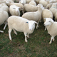 Romania quality Awassi sheep / Merino sheep / Ewe / dorper sheeps and lambs