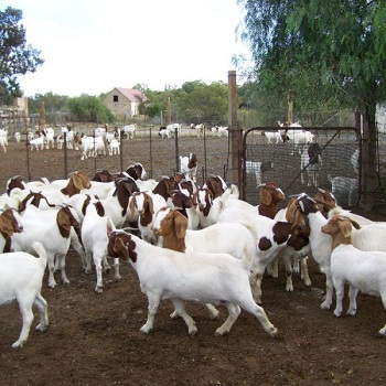 Boer Goat,Saanen Goat,Pygmy Goat,Anglo Nubian Angora Goats Etc - Buy Saanen  Goat Product on Alibaba com