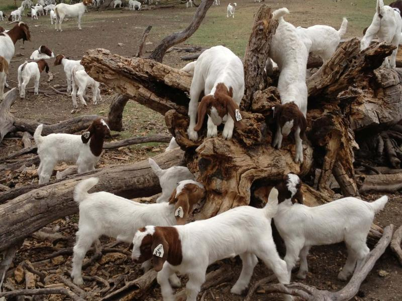 Boer Goats for sale / Live Goats for sale