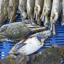 whole blue crab in Crab packing