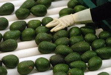 Hass and Fuerte Fresh Avocados for export