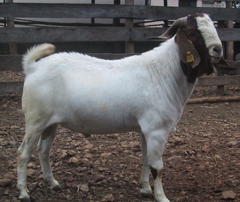 Alive Boer Goats And Merino Sheep For Sale - Buy Live Goats And Sheep,Sheep  And Goat Fence,Live Cattle And Goats For Sale Product on Alibaba com