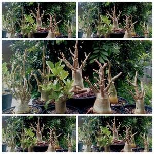 7Adenium thai Socotranum - caudex , bonsai, plant, Garden