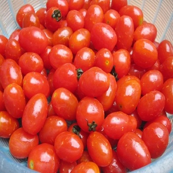 Hot selling quality tomatoes
