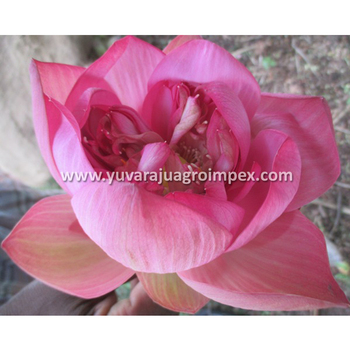 Fresh Lotus Flower Exporters In India To Malaysia Singapore