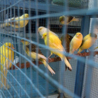 Live Canary Birds, Yorkshire, Lancashire,Finches, Lovebirds, Canary