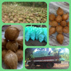 Matured coconuts from India