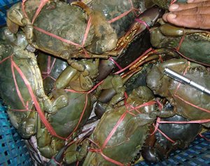 Hot Sale Live Mud Crabs / Live Seafood