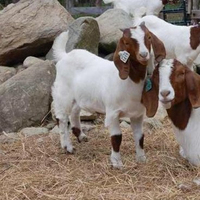 Live Animals - Goats ,Live Boer Goats, Holstein Heifers, Cows, Camels, Sheeps, Horse
