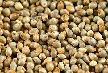 Image result for pearl millet