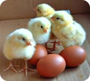 premium quality Fertile Hatching Chicken Egg | Fresh Chicken Egg | Ostrich Egg, both white
