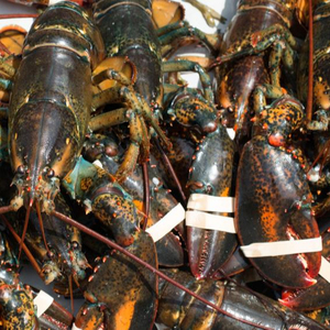 LIVE CRAYFISH - SPINY LOBSTER WHOLE ROUND