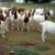 Alive Boer / Saanen Goats for sale at best prices