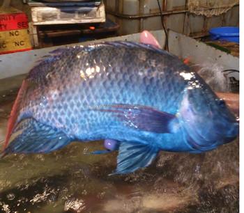 100 % Fresh Exportable Bangladeshi Tilapia Fish - Buy Frozen Tilapia  Fish,Tilapia Fish Farming,Aquarium Fish Exporter Bangladesh Product on