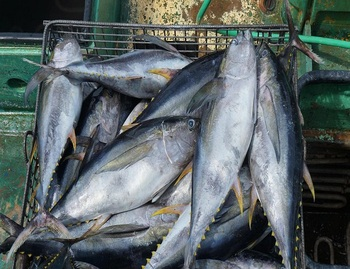 Quality Wholesale Frozen tuna fish