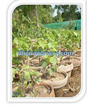Er Sundarkhani Grape Plants Nursery G Product On Alibaba