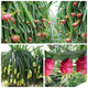 Dragon fruit-red dragon fruit from Vietnam-( Anna + 84988332914)