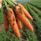 Hot sale Chinese fresh Organic carrot with export quality
