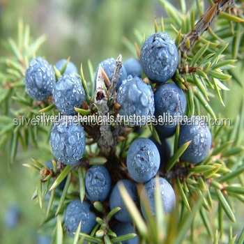 Juniper Berry Oil From India Buy Juniper Berriespure Essential Oil