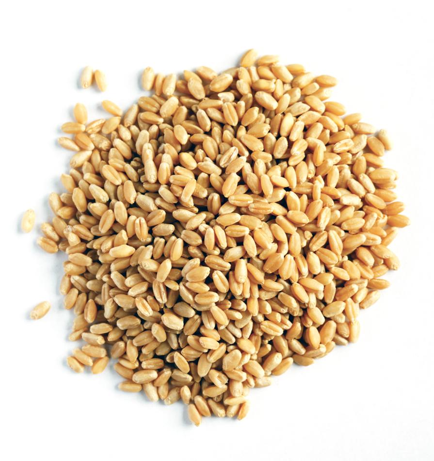 أجود أنواع القمح في الهند Buy Wheat Low Price Wheat Wheat In Bulk Product On Alibaba Com
