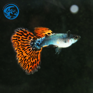Live Guppy Platinum Red Mosaic Big Ear for sale