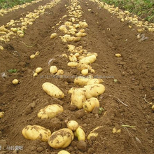 Supplier of potato (Agria, Granola, Russet Burbank, Shepody) for sale