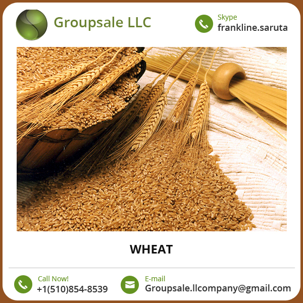Wheat/ Wheat Grain Available at Attractive Low Price