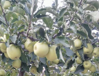 golden apples on tree HOT SALE