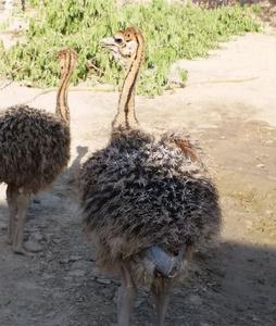 e165faa1f7c Ostrich Chicks For Sale, Wholesale & Suppliers - Alibaba