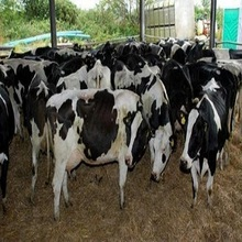 Healthy Pregnant Friesian Hostein Heifer Cows for sale worldwide
