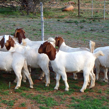 Cheap Pure Bred Full Bloodline Boar Goat - Buy Boer Goats Product on  Alibaba com