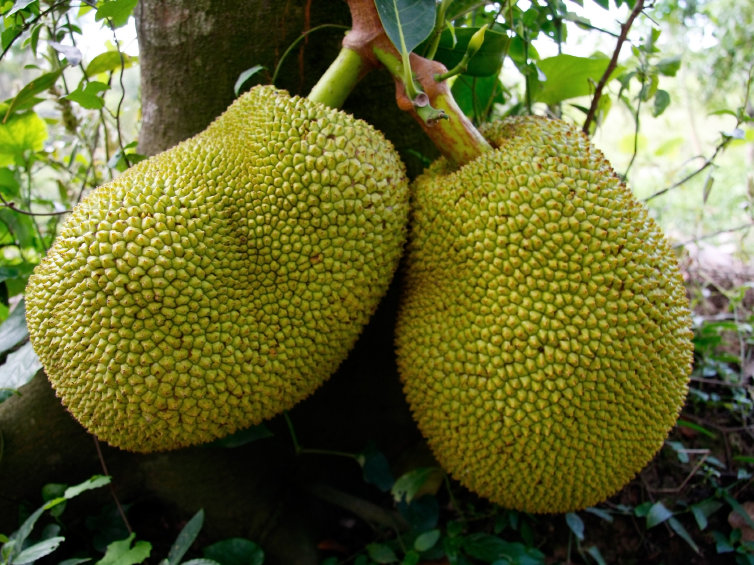 Jackfruit,Dried Jack Fruit,Healthy Freeze Dried Jack Fruit Buy Fresh Jackfruit Product on