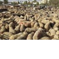 Live Awassi Sheep Healthy /Live Awassi Sheep and Lambs for sale
