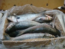 Frozen grey mullet and Frozen Red Mullet fish