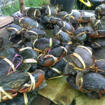 Live Mud Crab / Red King Crabs / Blue Crabs - Buy Red King Crab,Live Mud  Crab,Mud Crab For Sale Product on Alibaba com