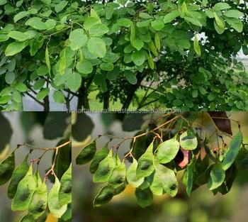 Dalbergia Latifolia Indian Rosewood Tree Seeds Forest Buy