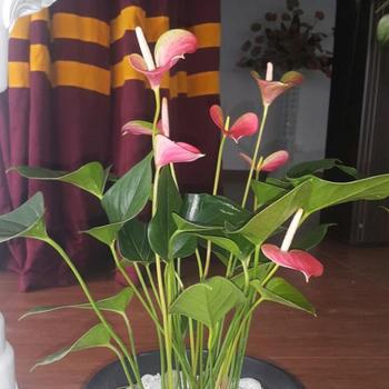 Sri Lanka Anthurium Cut Flower Buy Anthurium Plant Anthurium Anthurium Price Product On Alibaba Com